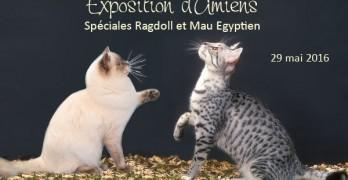 Amiens, 29 mai 2016 : spéciales Ragdoll et Mau Egyptien