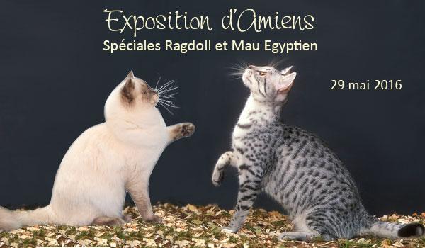 exposition à Amiens le 29 mai 2016 : spéciales ragdoll et Mau égyptien