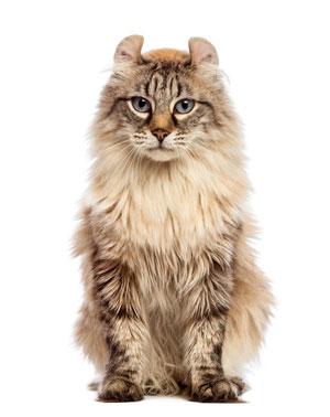 Spéciale chats oreilles pliées, American Curl