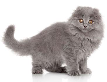 Spécial chat oreilles pliées : Scottish Highland fold