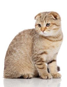 Spécial chat oreilles pliées : Scottish