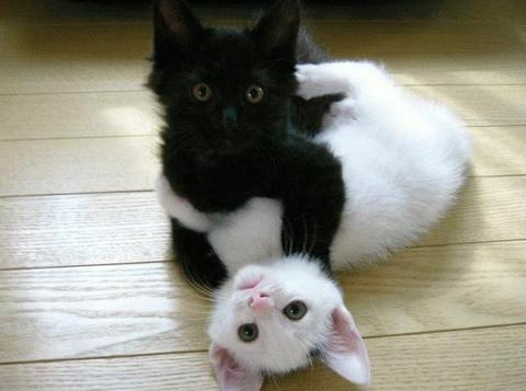 L\u0027AFNP au stade Bollaert de Lens , chats blancs, chats noirs